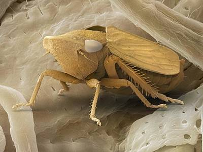 Common Froghopper, Sem Art Print by Power And Syred