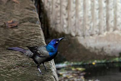 Photograph - Common Gackle by Sennie Pierson