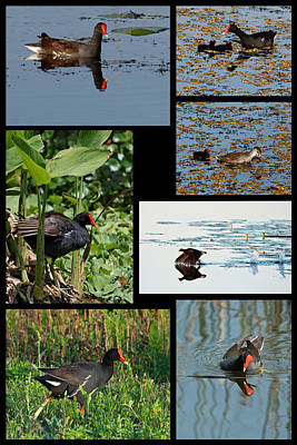 Photograph - Common Gallinule Collage by Dawn Currie