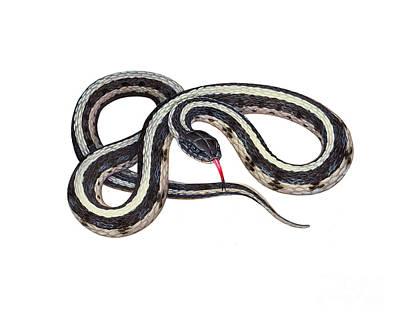 Garter Snake Photograph - Common Garter Snake by Carlyn Iverson