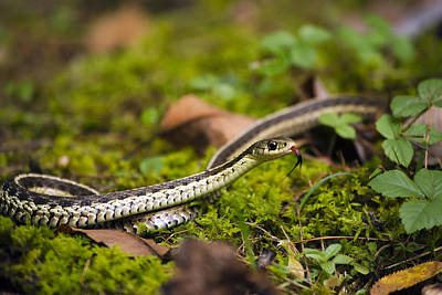 Photograph - Common Garter Snake by Christina Rollo