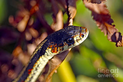 Photograph - Common Garter Snake by Sharon Talson