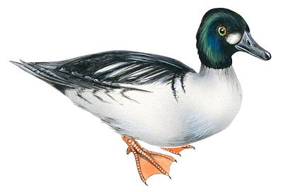 Mallard Duck Drawing - Common Goldeneye  by Anonymous