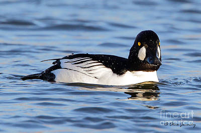 Photograph - Common Goldeneye by Steve Javorsky