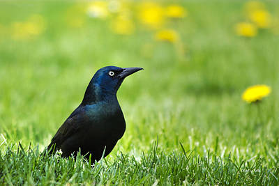 Photograph - Common Grackle by Christina Rollo