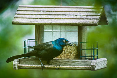 Photograph - Common Grackle On Bird Feeder by  Onyonet  Photo Studios