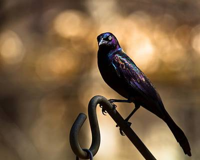 Art Print featuring the photograph Common Grackle by Robert L Jackson