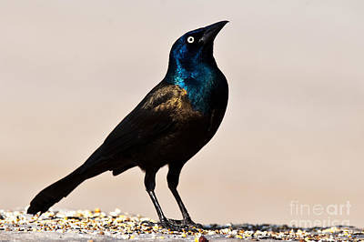 Watercolor Typographic Countries - Common Grackle by Robert McAlpine