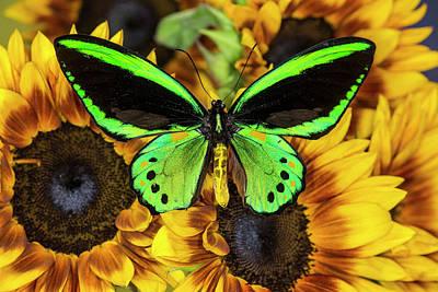 Common Green Birdwing Or The Priams Art Print