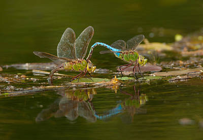 Spot Of Tea Royalty Free Images - Common Green Darners Royalty-Free Image by Gerald DeBoer