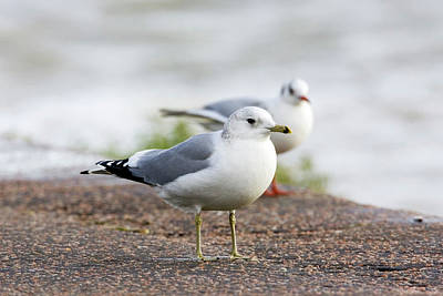 Common Gull And Black-headed Gull Art Print by John Devries/science Photo Library