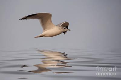 Common Gull Larus Canus In Flight Art Print by John Edwards