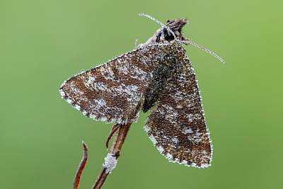 Common Heath Moth Art Print