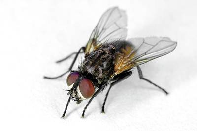 Housefly Wall Art - Photograph - Common House Fly by Stephen Ausmus/us Department Of Agriculture