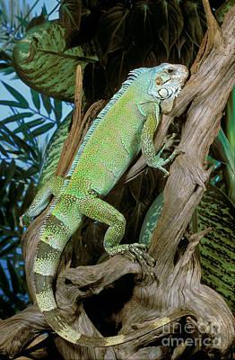 Common Iguana Art Print