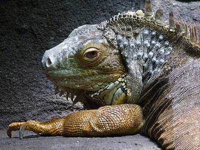 Photograph - Common Iguana Relaxing by Margaret Saheed