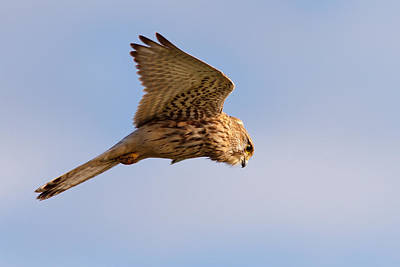 In Flight Photograph - Common Kestrel Hovering In The Sky by Roeselien Raimond