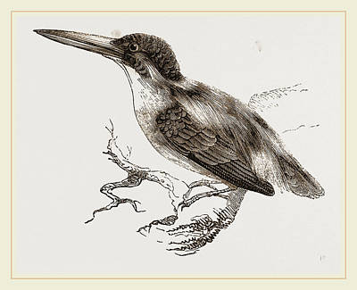 Kingfisher Drawing - Common Kingfisher by Litz Collection