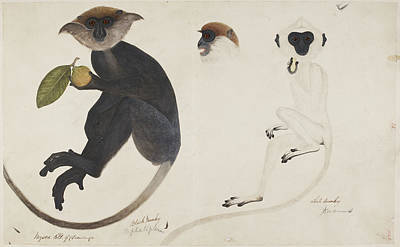 Watercolour Photograph - Common Langur by British Library