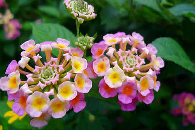 Common Lantana Flower Print by Lanjee Chee