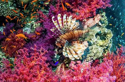 Common Lionfish Hunting A Reef Art Print