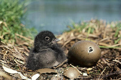 Common Loon Chick With Egg Wyoming Art Print