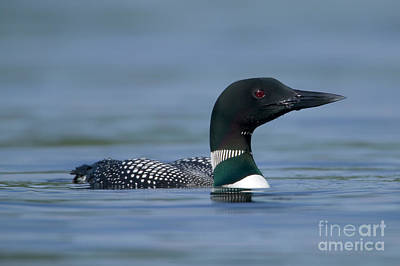 Common Loon Art Print by Clarence Holmes