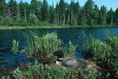 Photograph - Common Loon Nesting by John Mitchell