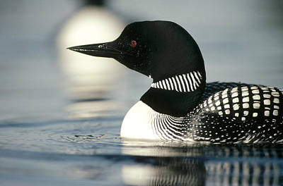 Common Loon On Lake In Summer Wyoming Art Print by Michael Quinton