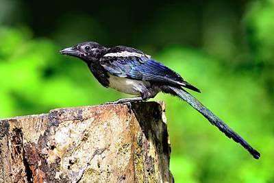 Magpies Wall Art - Photograph - Common Magpie by Colin Varndell/science Photo Library