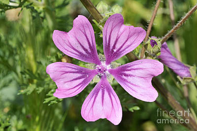 Print featuring the photograph Common Mallow Flower by George Atsametakis