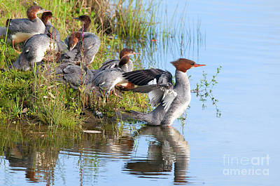Common Merganser Wall Art - Photograph - Common Merganser Family 2a by Sharon Talson
