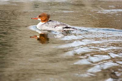 Photograph - Common Merganser Hen by Bill Wakeley