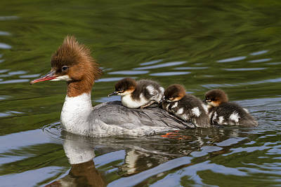 Common Merganser Wall Art - Photograph - Common Merganser Mother Carrying Chicks by Konrad Wothe