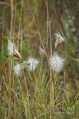 Common Milkweed Print by Linda Freshwaters Arndt
