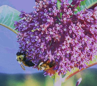 Art Print featuring the photograph Common Milkweed by Shirley Moravec