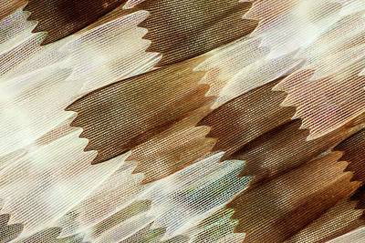 Mother Of Pearl Photograph - Common Mother-of-pearl Butterfly Wing by Gerd Guenther
