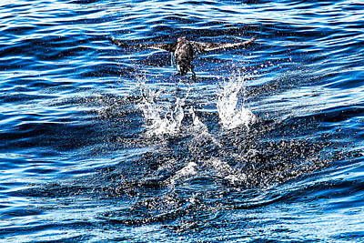 Photograph - Common Murre Fishing by Perla Copernik