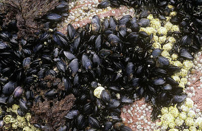 Mussel Wall Art - Photograph - Common Mussels (mytilus Edulis)_ by Alan Punton Esq/science Photo Library