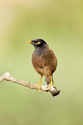 Common Myna Photograph - Common Myna Acridotheres Tristis by Photostock-israel