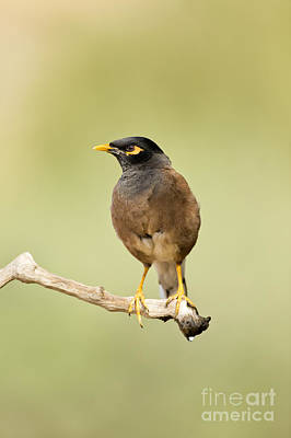 Common Myna Photograph - Common Myna  by Eyal Bartov
