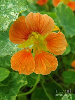 Common Nasturtium Art Print