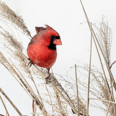 Cardinal Photograph - Common Northern Cardinal Square by Bill Wakeley