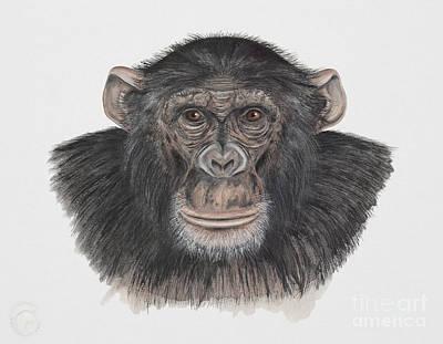 Mammals Painting - Common Or Robust Chimpanzee - Pan Troglodytes - Chimpanze - Chimpance - Scimpanze - Simpansi - Ape  by Urft Valley Art