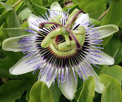 Passiflora Photograph - Common Passion Flower by D C Robinson