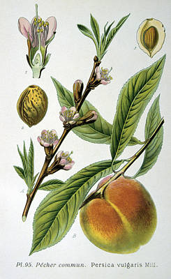 Peach Drawing - Common Peace Persica Vulgaris by Anonymous