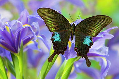 Blue Swallowtail Photograph - Common Peacock Swallowtail Butterfly by Darrell Gulin