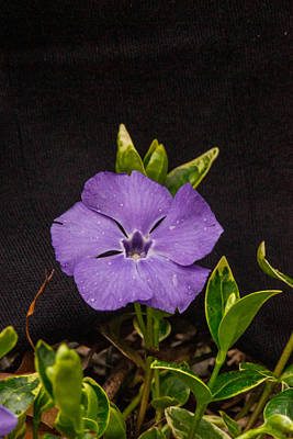 Pop Art Rights Managed Images - Common Periwinkle 1 Royalty-Free Image by Douglas Barnett