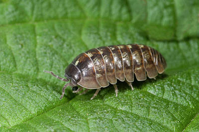Pill Photograph - Common Pill Woodlouse by Nigel Downer