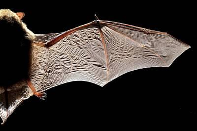 Common Pipistrelle Bat Wing Art Print